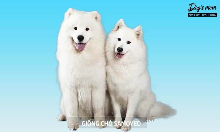 Kinh nghiệm nuôi chó Samoyed